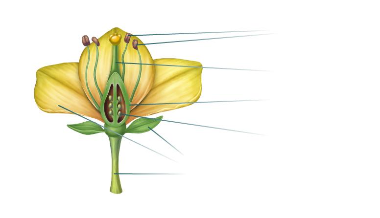 Cvjetnjače biljke BILJKA CVJETNJAČA